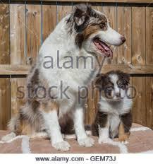 australian shepherd red merle puppy australian shepherd black tri 10 months australian stock