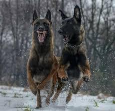 belgian shepherd edmonton 2321 best dogs images on pinterest animals belgium malinois and dog