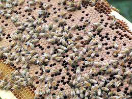 new canaan u0027s bare handed beekeeper new canaan news