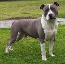 american pitbull terrier in bangalore 5692 best puppies images on pinterest animals dogs and puppies
