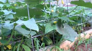cucumbers trellis with cattle panels myfrontyardgarden youtube