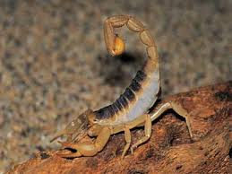 how can scorpions live without food or water howstuffworks