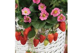 gasana f1 strawberry seed johnny u0027s selected seeds