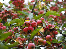 free images apple branch blossom berry leaf flower food