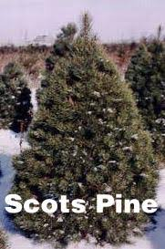 scotch pine christmas tree your guide to ontario farm grown christmas trees
