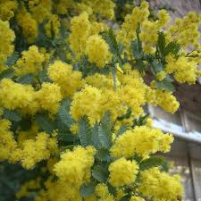 native plants of australia list cootamundra wattle blooms february to april sun requirement