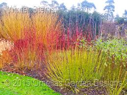 winter coloured stems ornellas garden designs