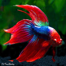 5 types of ornamental fish less need to change water or clean up