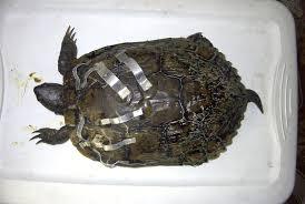 Texas Map Turtle Aquatic Turtle Page