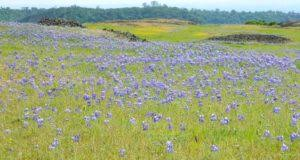 Table Mountain Oroville Ca Wildflowers U2013 Total Escape