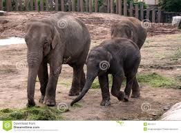 asian asiatic indian elephant with baby calf royalty free stock