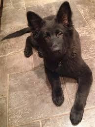 belgian shepherd x border collie dog coat colour genetics