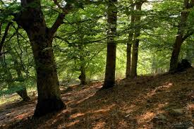 image beech tree forest stock photo by jf maion
