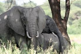 the future of africa u0027s elephants out with arguments old in with
