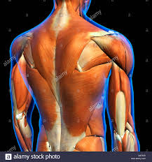 Anatomy Of Human Back Muscles Male Upper Back Muscles Anatomy In Blue X Ray Outline Full Color