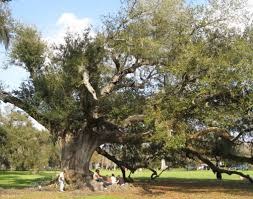 the southern live oak quercus virginiana