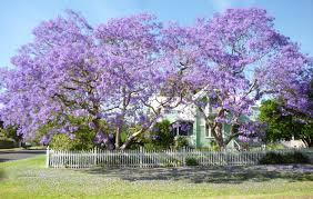 Tree With Purple Flowers The Dream Tree Jacaranda Sydney Icon Sydney Living Museums