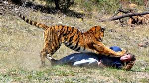 tiger documentary american tiger national geographic hd nat