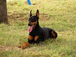 affenpinscher loyalty best 20 doberman temperament ideas on pinterest are pit bulls