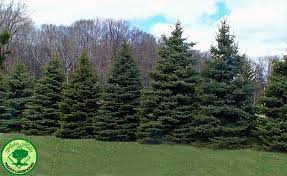 blue spruce trees colorado blue spruce tree facts arbor hill trees omaha blogarbor