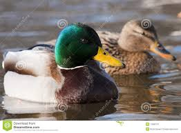 mallard duck pair on water royalty free stock photography image