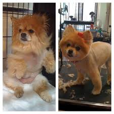 summer haircut pomeranian the life and times of a doggy beautician