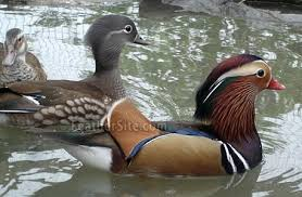 mandarin ducks sale local classifieds buy and sell in the uk