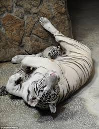 white bengal tiger shows two bundles of born at