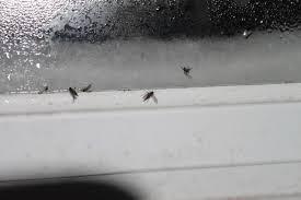 petites mouches cuisine mouche qui nous envahit