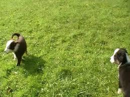 8 week old australian shepherd weight australian shepherd pups at 8 weeks youtube