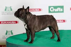 boxer dog crufts 2015 kingrock captain cook bulldog bulldogs pinterest dog