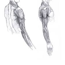 anatomy drawing of arms by cookart456 on deviantart