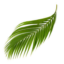 palms for palm sunday purchase date palm branches palm tree branches for sale