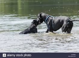 Great Dane Meme - black great dane and a small black dog will sniff in the water