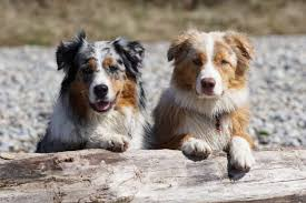australian shepherd and cats 11 active facts about the australian shepherd mental floss