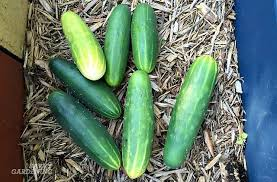 Trellis For Cucumbers In Pots How To Plant Cucumber Seeds A Step By Step Guide