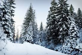 winter fir tree forest with snow covered trees and path stock