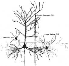 chandelier cells synaptic relationships between bouquet cells chandelier