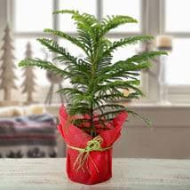 indoor plants india indoor plants online best indoor plants india ferns n petals