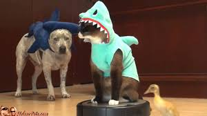 Halloween Costumes Cats Wear Shark U0026 Duckling Happy Halloween Roomba Cat Cat Shark