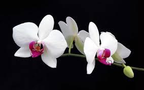 White Orchid Flower Orchid Desktop Wallpaper Gzsihai Com