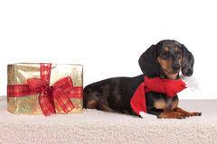 dachshund dog decorating christmas tree stock photo image 34928660