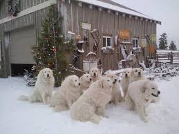 great pyrenees rescue provides wonderful dogs to good homes national great pyrenees rescue the great outdoors pinterest