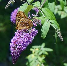 When Is Lavender In Season In Michigan by Butterfly Bush How To Plant Grow And Care For Buddleia The