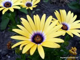 yellow african daisy jpg 1024 770 african dasies pinterest