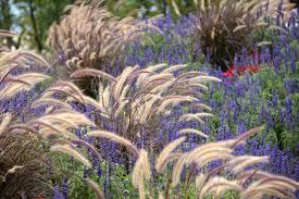 pennisetum setaceum rubrum purple grass