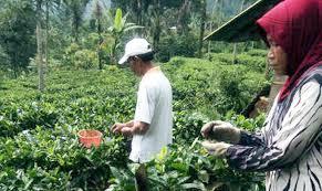 Teh Putih manfaat teh putih untuk kesehatan sorot indonesia