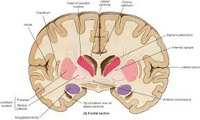 Thalamus Part Of The Brain Basal Ganglia Part 2 Jpg