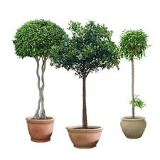 Outdoor Topiary Trees Wholesale - download topiary plant solidaria garden