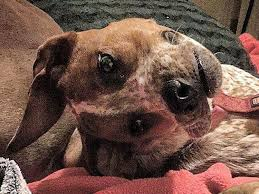 Confused Dog Meme - optical illusion makes a dog s face look weird here s the answer